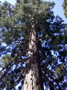 Picnic under the towering California Redwoods in Beechworth Town Hall Gardens