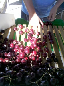 Whopping great bg cherries for sale at Beechworth