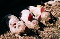 Piglets still with their mum