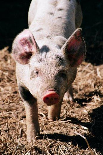 A happy little piglet