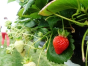 Pick your own strawberries from the raised beds