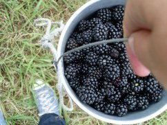 I'm happy with a billy full of blackberries