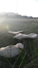 Field mushrooms near the Grampians
