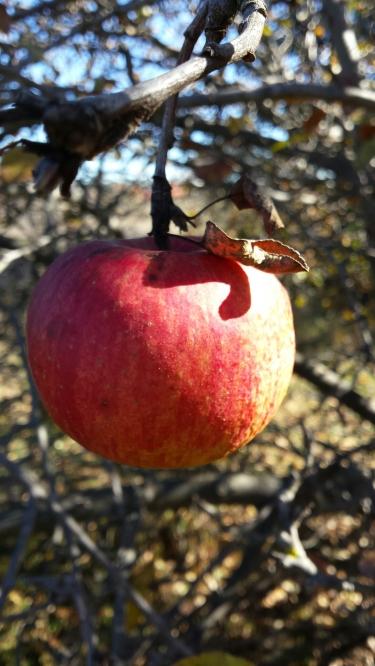 Wild apples in Jerrabomberra