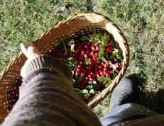 Grandpma's picnic basket full of hawthorn
