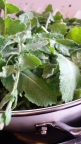 Washed wild brassica