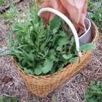 Foraging for wild brassica