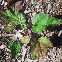 Rhubarb sprouting at the Lyneham Commons